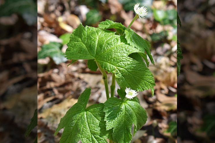 Goldenseal for Pink Eye