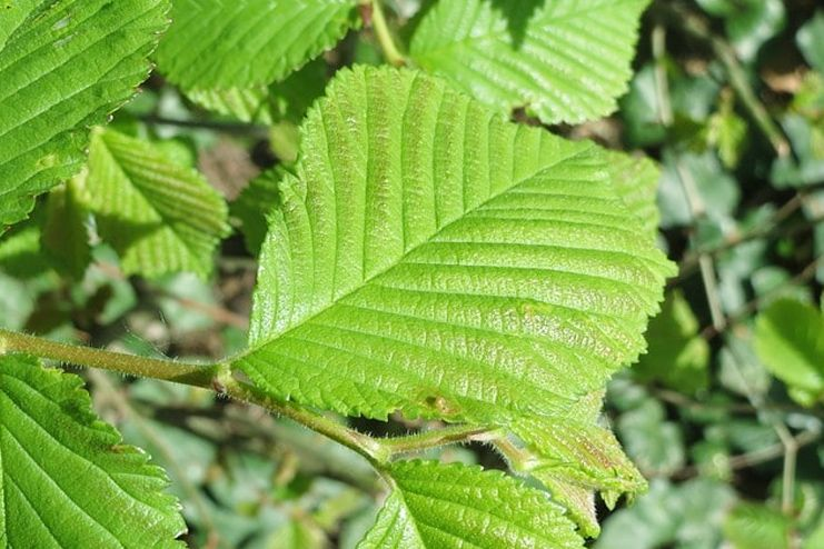 Slippery Elm for Sore Throat