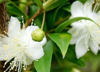 benefits of myrtle essential oil