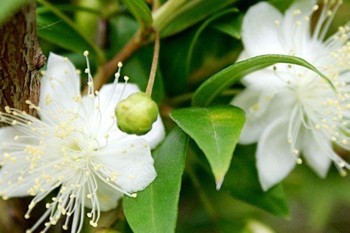 benefits of myrtle essential oil