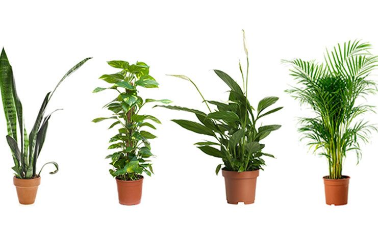 Plants for cleansing indoor air