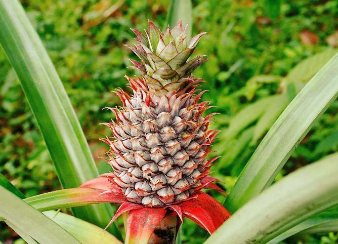 side effects of pineapple