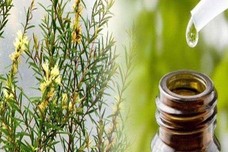 Tea Tree Oil help for Hair Growth