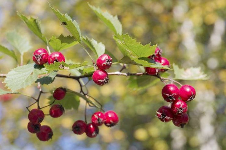 Possible side effects of hawthorn berry