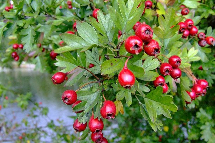 Hawthorn berry selection and usage