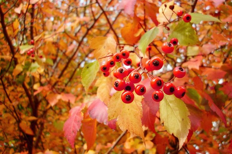 Uses of hawthorn berry