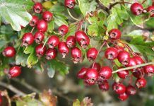 benefits of Hawthorn berry