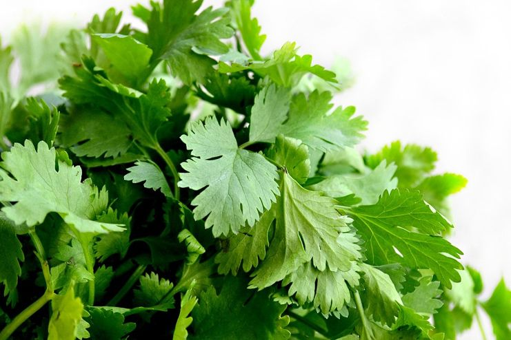 Coriander water or basil leaves