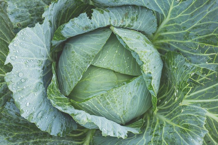 Cabbage for blood cleansing
