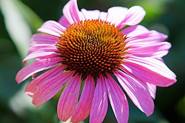 Echinacea for blood cleansing