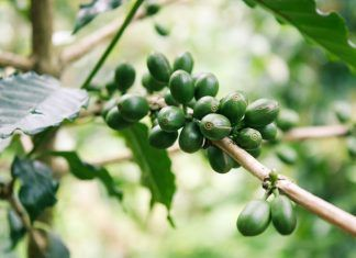 Green Coffee for Weight Loss
