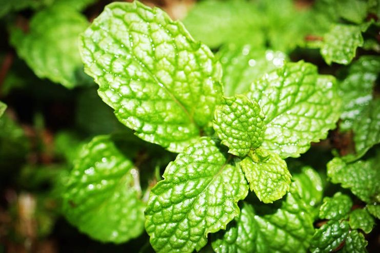 Mint to Suppress Appetite