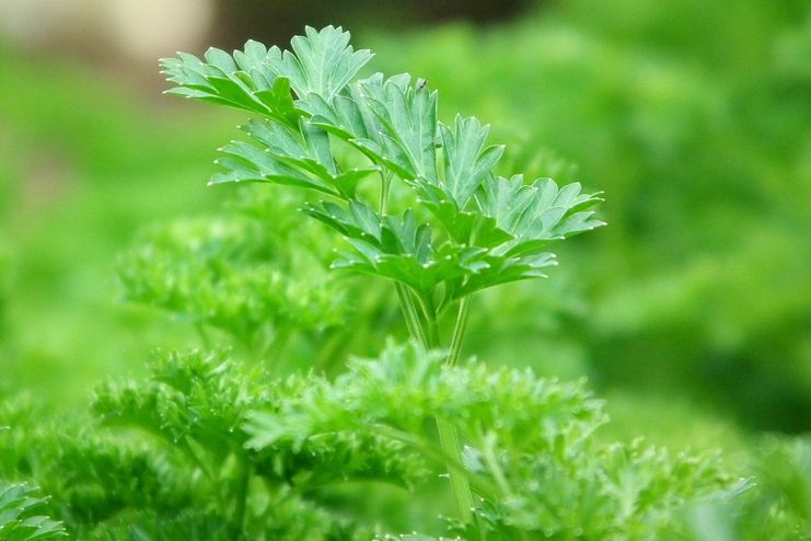 Parsley for blood cleanse
