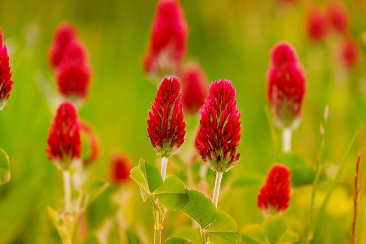 Red clover for blood cleansing