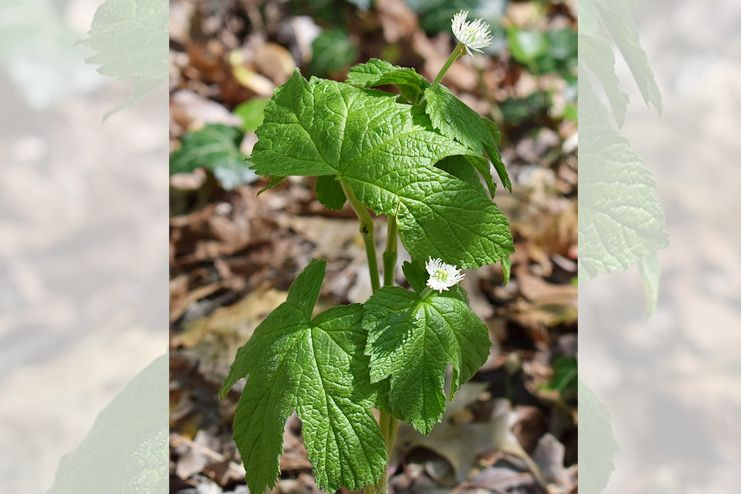 Goldenseal for UTI