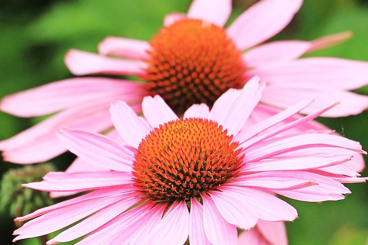 Echinacea for cold and flu