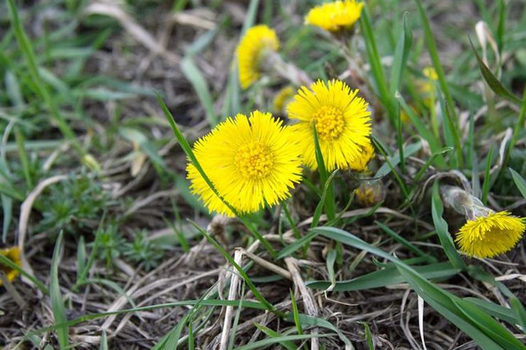Dandelion root nutrition facts