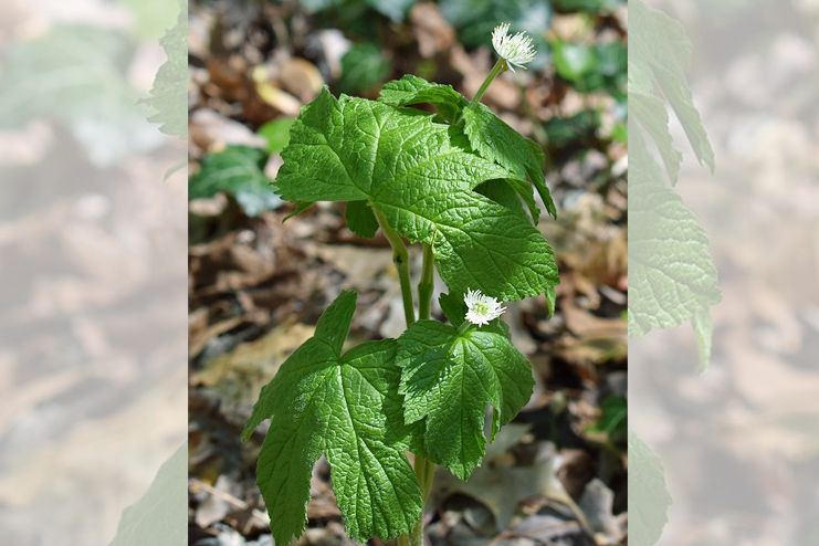 Goldenseal to treat Chlamydia