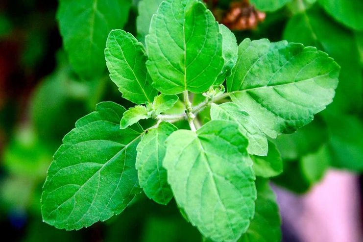 Holy Basil Leaves for Malaria Treatment