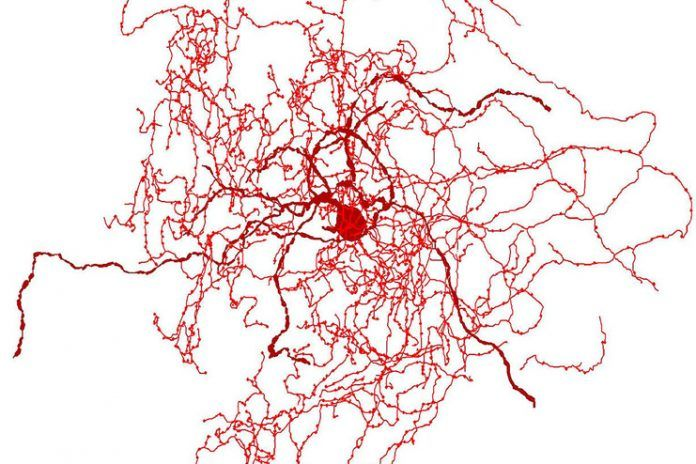 Rosehip neurons