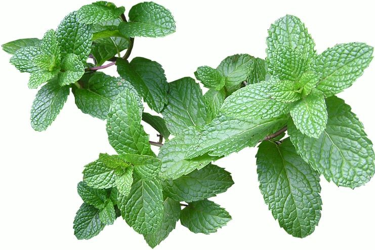 Mint Leaves to get rid of flatulence