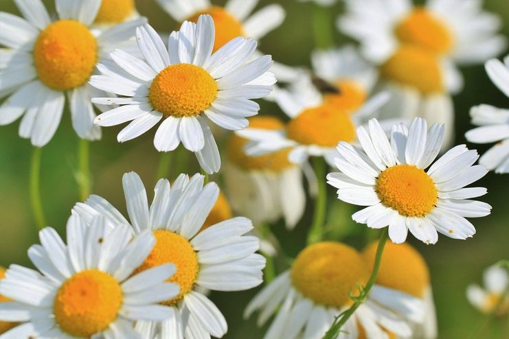 Chamomile for Dehydration