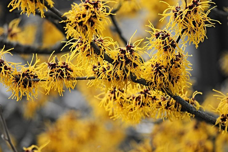 Witch Hazel for Keratosis Pilaris
