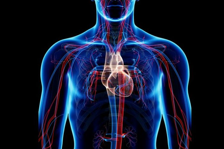 How does it affect the vascular system
