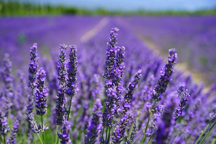 Try lavender