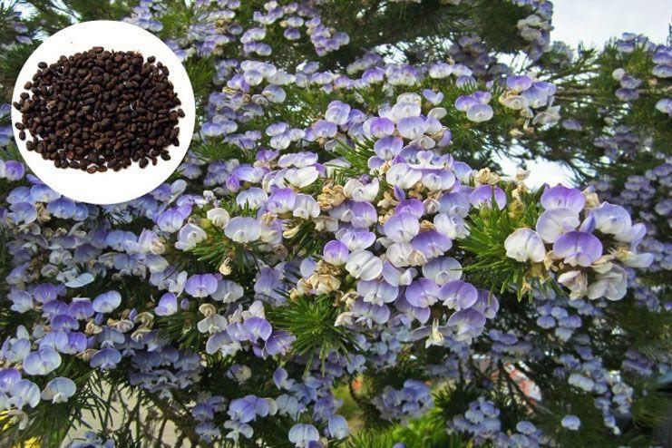 Vitiligo - Psoralea Seeds