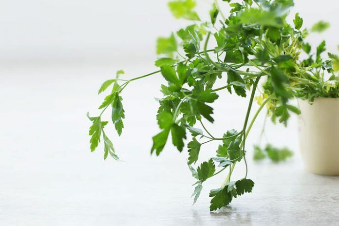 20 Health Benefits Of Parsley Lead A Healthier Life